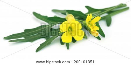 Fresh arugula or rucola leaves with flower over white background