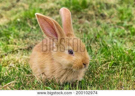 young red rabbit on green grass in spring