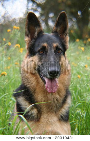 German shepherd laying in a bed of flowers in a meadow poster
