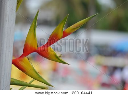 Red and yellow birds of paradise flower with unopened bud  Birds of paradise grow best in tropical climates.