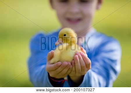 Cute Little Boy With Ducklings Springtime, Playing Together
