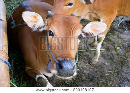 Two calves with yellow orange skin at rural farm