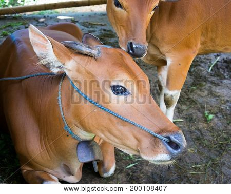 Cow and Calf with yellow skin at ranch