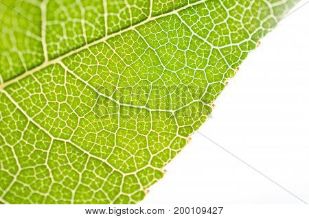 Close-up of leaf, green leaf in the garden / Macro of green leaf in forest. Texture of leaf
