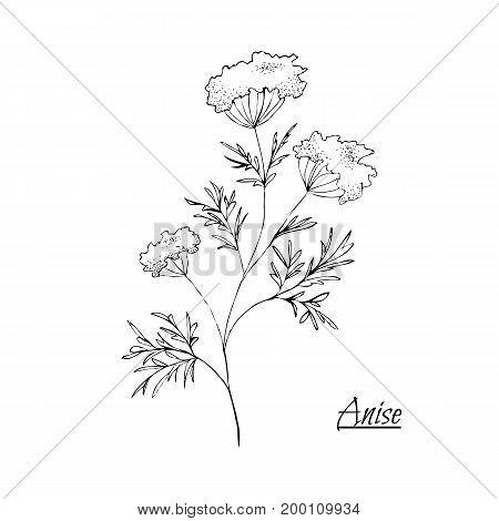 Absinthe Ingredients. Fresh Green Anise (pimpinella Anisum). Hand Draw
