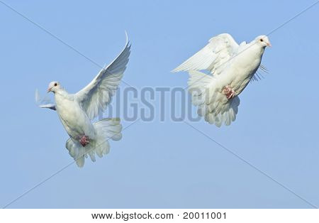 Two Loving White Dove In Free Flight Under Blue Sky