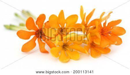 Closeup of Gardenia coronata or Pinwheel Gardenia