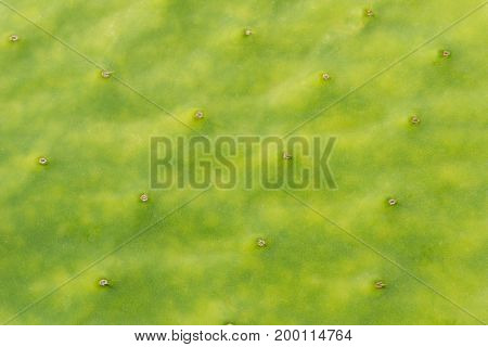 Close-up of a green Cactus. View on the green Surface of a Cactus. Natural Cactus Texture. Natural Backgrounds.