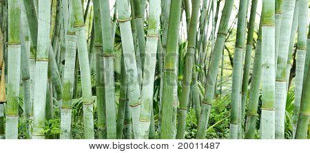 the fresh bamboo groves