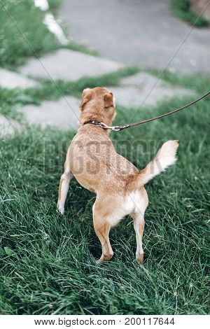 Happy Dog Walking In A Park, Grass In The Background, Mongrel Dog Up For Adoption Concept, Pup On A