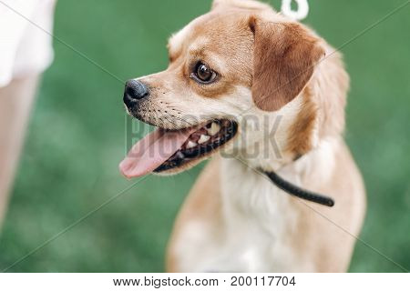 Small Happy Dog Portrait, Close-up Of Cute Brown Puppy Smiling Outdoors In A Park, Funny Emotional P