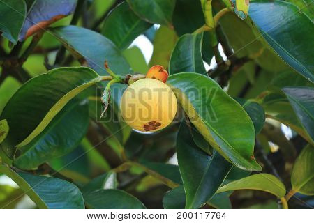 Bright yellow unripe Mangosteen fruit amongst dark green leaves on the tree, Rayong Province of Thailand
