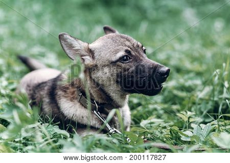 Cute Grey Dog Portrait, Close-up Of Mongrel Puppy Lying In The Grass, Animal Shelter Concept