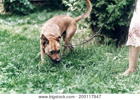 Cautious Dog Sniffing The Ground While On A Walk With Owner, Cute Brown Dog Outdoors Portrait, Anima