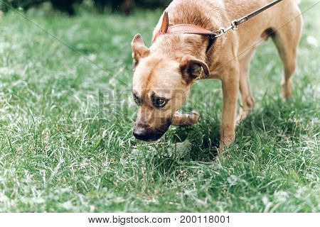 Cute Search Dog Sniffing The Grass In The Park, Sad Dog On A Leash In The Park, Animal Adoption Conc