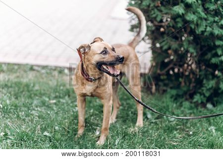 Happy Big Eye Dog Looking At Owner On A Leash, Cute Brown Puppy Walking In A Park, Friendly Pet Conc