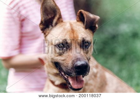 Female Owner Putting On Leash On Dog, Cute Brown Dog Smiling Outdoors In A Meadow, Animal Adoption C