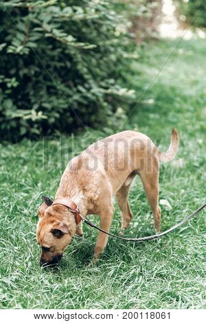 Curious Dog Looking For Something In The Grass, Cute Brown Dog Outdoors, Searching Concept
