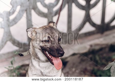 Smiling Dog Face Close-up, Adorable Grey Dog Relaxing With His Tongue Out While On A Walk Outdoors,