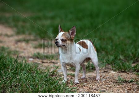 Short hair Chihuahua standing on the meadow