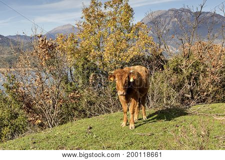 The young bull is grazed on a mountain meadow near the lake closeup