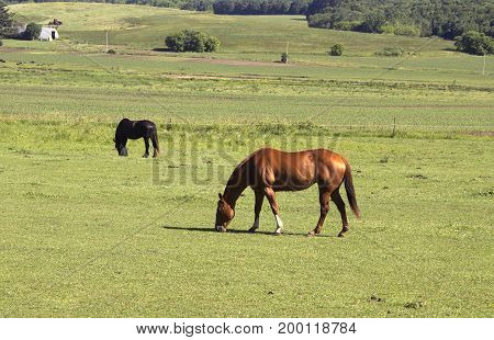 Two horses grazing in a pasture on a Wisconsin farm.