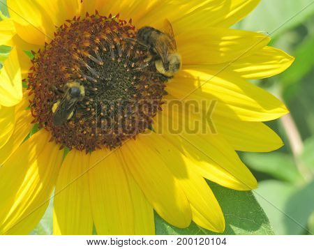 Close up of a Sun Flower with a bumble bees