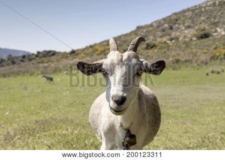The portrait of a goat on a mountain pasture closeup