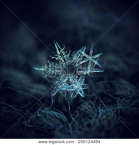 Cluster of three snowflakes. Macro photo of real snow crystals: stellar dendrites with fine hexagonal symmetry, thin and sharp arms. Snowflakes glowing in diffused light on dark blue background.