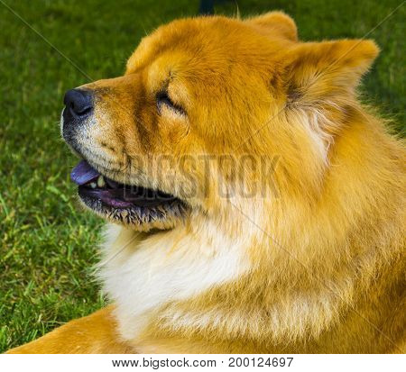 Chow chow dog. Beautiful dog chow-chow in the park.
