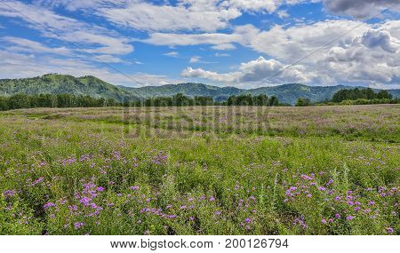 Picturesque mountain flowering meadow with lilac wildflowers and beautiful clouds on blue sky at bright summer day - admirable sunshine landscape of Altai mountains Russia
