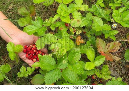 Hand with a handful of wild strawberry