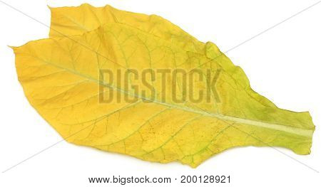 Closeup of Golden tobacco leaves over white background