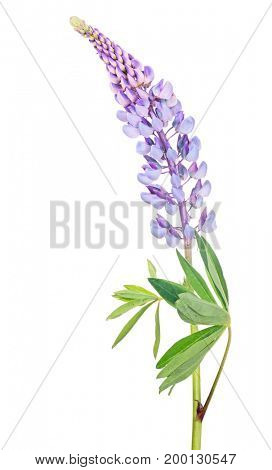 violet lupine flower isolated on white background