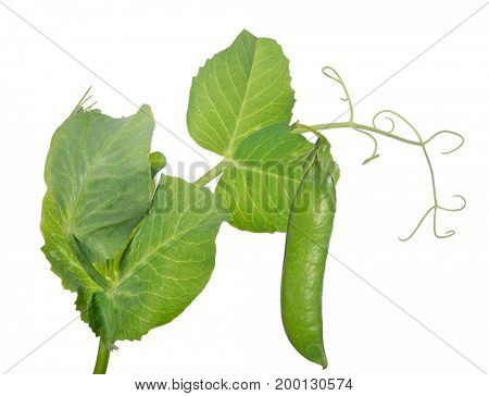 green pea stem isolated on white background