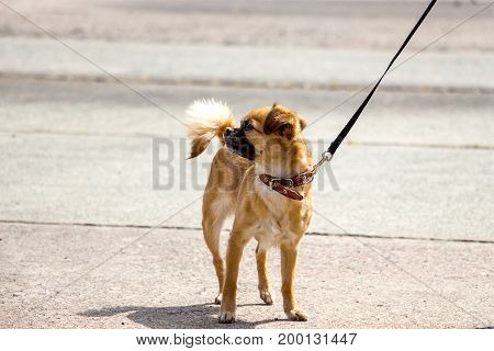 Dog breed Chihuahua on a leash standing on pavement