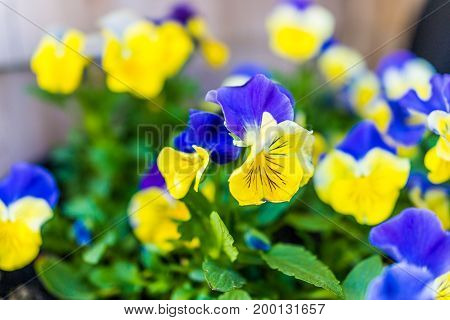 Macro Closeup Of Light Yellow Double Blue Pansy Flower Showing Detail And Texture