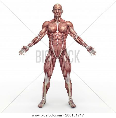 Male muscular system. This is a 3d render illustration