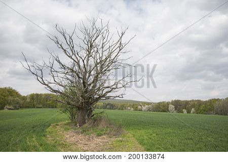 Dead tree in the middle of the field in spring with overcast sky