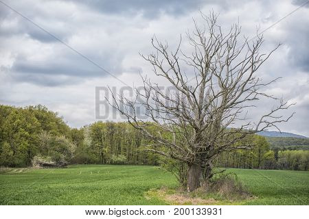 Dead tree in the middle of the field with spring colored trees