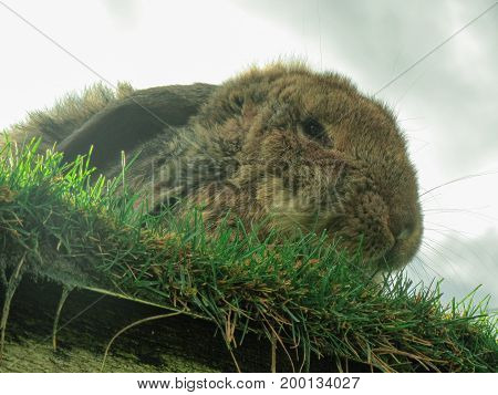 Rabbit on the roof of a shed planted with grass