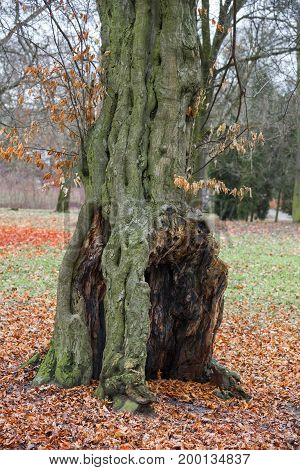 Old rotten tree in the park in the fall