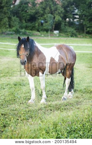 Spotted horse walks in a meadow with green grass