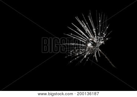 Dandelion seeds with dew drops on black background closeup. Silver droplets on the dandelion. Artistic and abstract image of a dandelion.