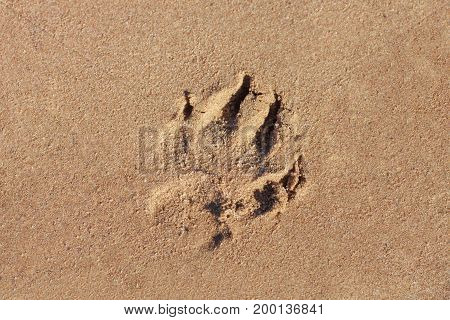 A dog print in the sand by the sea