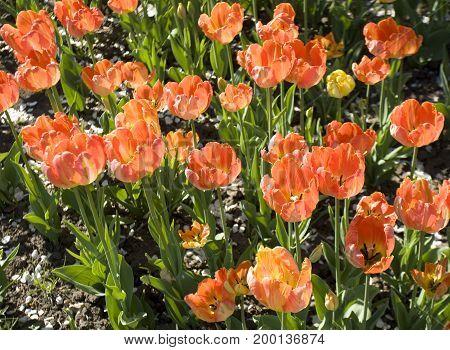 Red tulips on flowerbed in garden horizontal