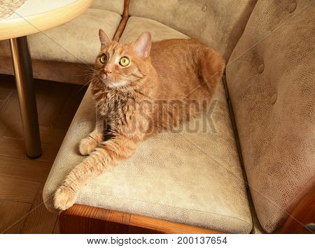 The cat lies on a sofa. Cat of beige color fluffy beautiful.