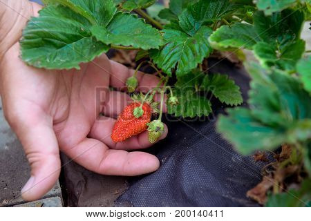 Male Hand Holding Ripe Strawberry . Home Gardening Concept. . Selective Focus