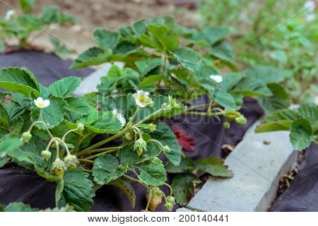 Strawberry bushes with blossom white flowers and underserved green berries in the garden. Gardening concept selective focus.