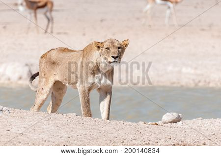 An African Lioness Panthera leo with scars and visible wounds at a waterhole in Northern Namibia